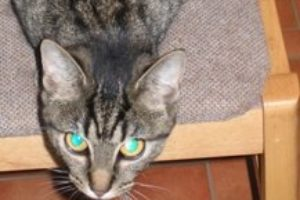 Orkney cats caught in gin trap