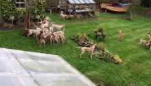 Avon Vale Hunt deny that a pack of their hounds entered gardens