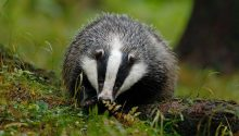 'Badger baiting' claims: Five men go on trial