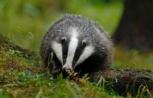 Badgers persecuted for sport