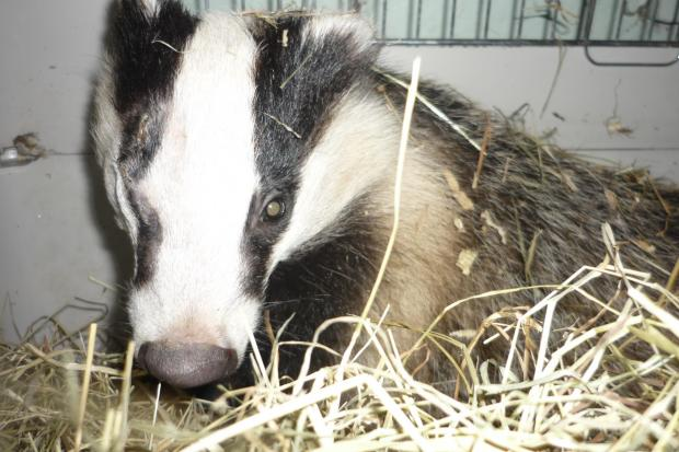 The attacked badger