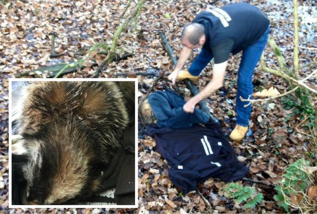 The badger was rescued by Nuneaton and Warwickshire Wildlife