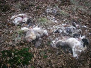Four badger skins dumped