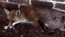 The fox was dehydrated and underweight when it was found