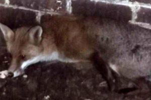 Buckminster Estate fox trial: Gamekeeper guilty of welfare offence