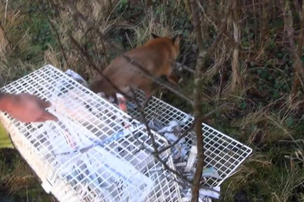 The fox was taken to a rescue centre then released into an area of Leicestershire where hunts do not take place