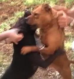 Bilal Mohammed Aldeeb fighting dogs