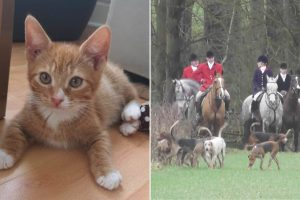 Bramham Park fox hunt rips seven-month-old kitten to pieces