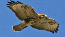 Police appeal after buzzard shot in Nidderdale, North Yorkshire