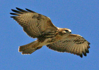 Carcasses of protected buzzards found shot dead