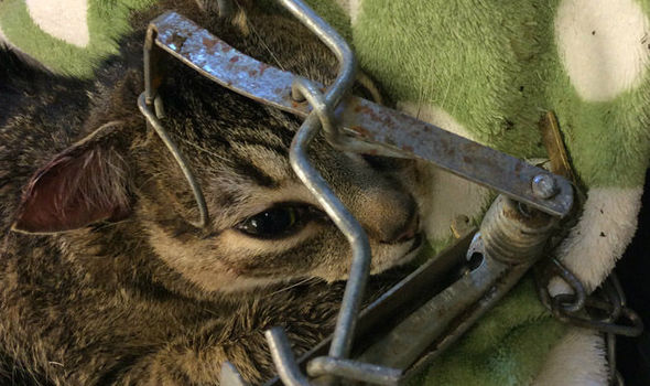 The cat was painfully caught inside the fenn trap