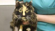 Cat injured by Fenn trap