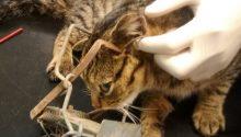 Cat killed by fenn trap