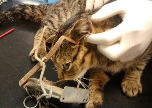 Cat caught in Fenn Trap near Aylsham dies due to severe injuries