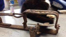 The illegal trap clasped around the cat's front paw, splintering the bone