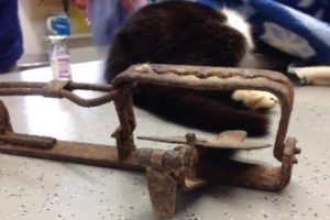 Pregnant cat loses leg in illegal 'gin' trap