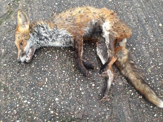 Cheshire Forest Hunt kill fox