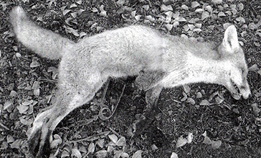Fox killed by gin trap