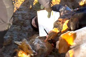 Fox ripped apart by the Quorn Hunt