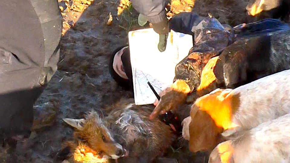 Fox killed during the Quorn Hunt (Image: Nottingham Hunt Saboteurs)