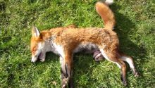 Police probe slaughter of fox by hunt hosted by PM's father-in-law