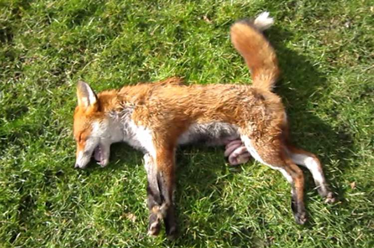 Fox killed by the York and Ainsty Hunt