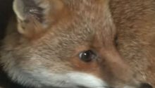 Hunts warned over secretive world of 'producing' foxes