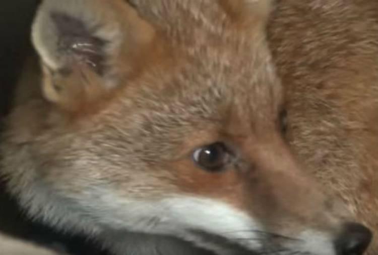 Fox rescued Belvoir Hunt