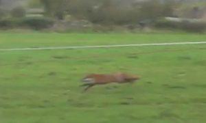 Fox running from hounds