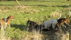Foxhounds mauling a roe deer in North Yorkshire