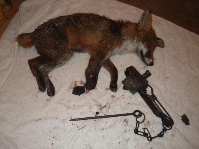Young fox left with 'horrific injuries' after getting caught in illegal trap