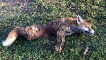 Holderness Hunt brutally savaged a fox in gruesome New Year footage