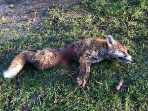 Holderness Hunt New Year fox kill