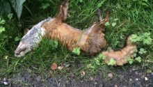This was the dead fox found outside Mike Foster's home.