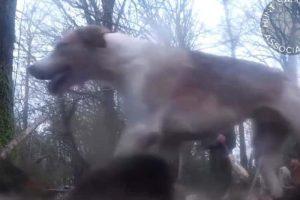 Kimblewick Hunt hound