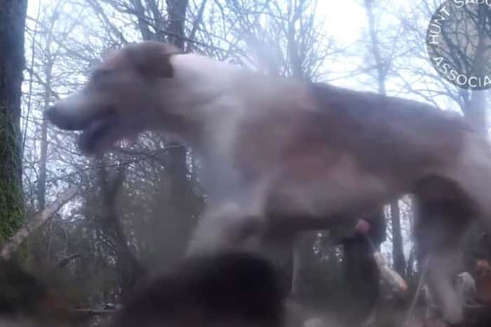 Police investigate Kimblewick Hunt after fox released in front of the hounds