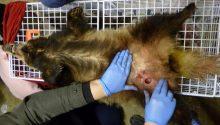 Lancashire man sentenced for badger baiting