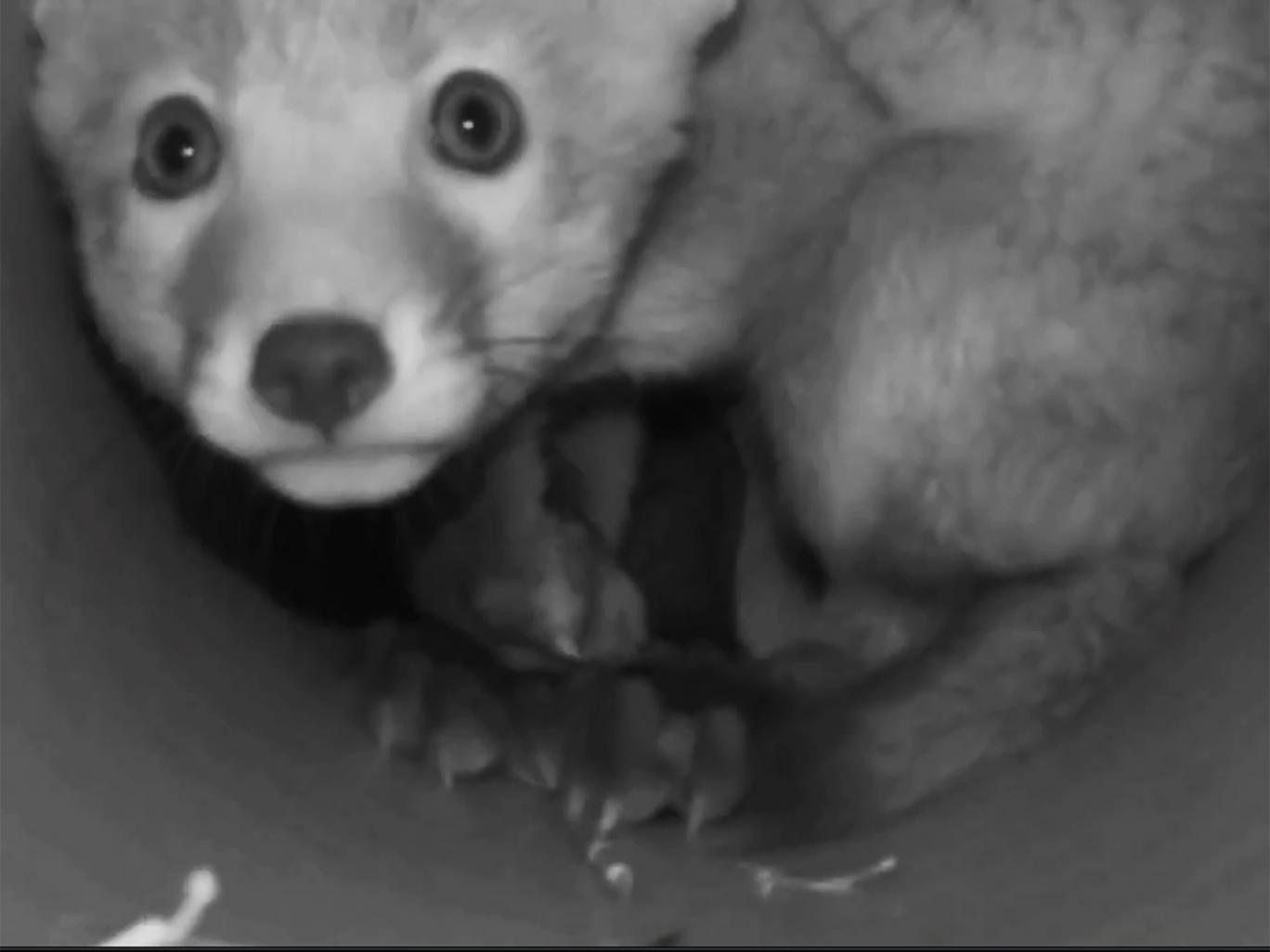 Middleton Hunt fox cub