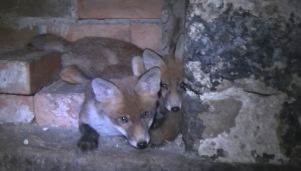 Fox cubs: They have now been rescued and a man arrested