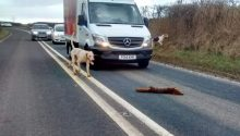 Fox is killed by hounds on busy North Yorkshire road
