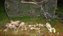 Investigation launched as otter drowned in illegal trap