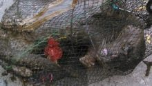 Drowned otter found in trap