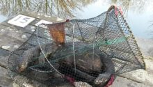 The otter was found in an illegal crayfish net