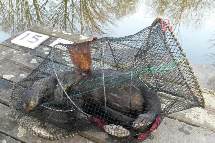 Otter drowns in illegal crayfish trap in Selby  Read
