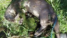 Otters die in crayfish nets