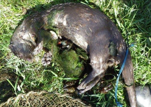 Otters die in crayfish nets