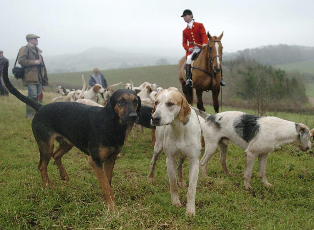 Portman Hunt hounds