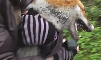 POWA monitor rescues fox from hounds