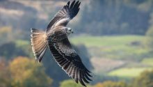 Red kite shot dead in North Yorkshire