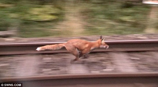 The fox is shown sprinting along the railway tracks, having been filmed by anti-hunt campaigners